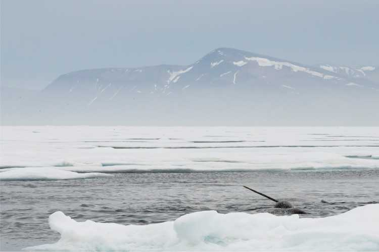 Arctic Narwhal-g7